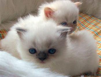 Himalayan Cats