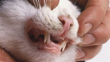 cats dental health