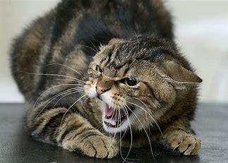 rabid cat